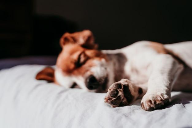 Милая маленькая собака джека рассела отдыхая на кровати на солнечный день. сосредоточиться на лапах