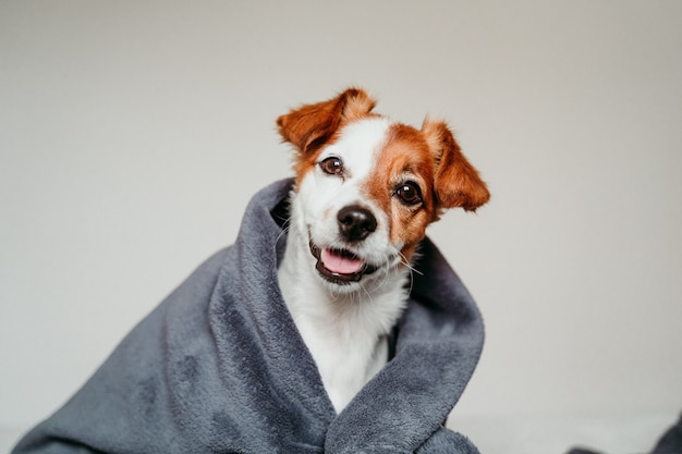 灰色の毛布で覆われたベッドの上に座っているかわいい小さなジャックラッセル犬