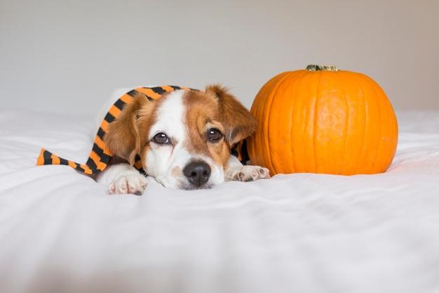 Милая молодая маленькая собака представляя на кровати нося оранжевый и черный шарф и лежа рядом с тыквой. концепция хэллоуин белый фон