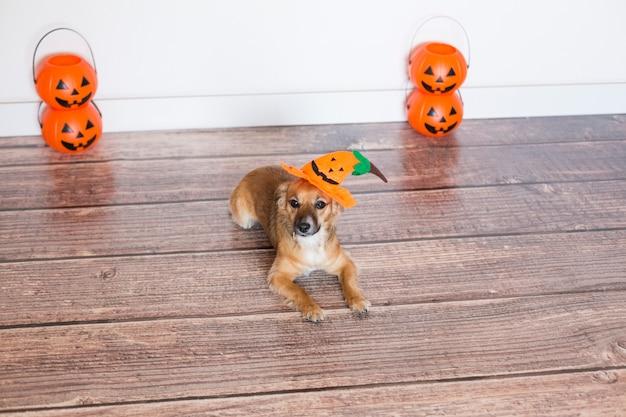 かぼちゃの衣装で木製の床に座っているかわいい犬。ハロウィーンのコンセプト。屋内。
