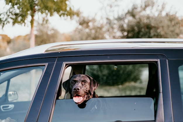 旅行の準備ができて車の中で美しい黒のラブラドール。都市の背景。夕暮れ時の窓際で見ています。旅行のコンセプト
