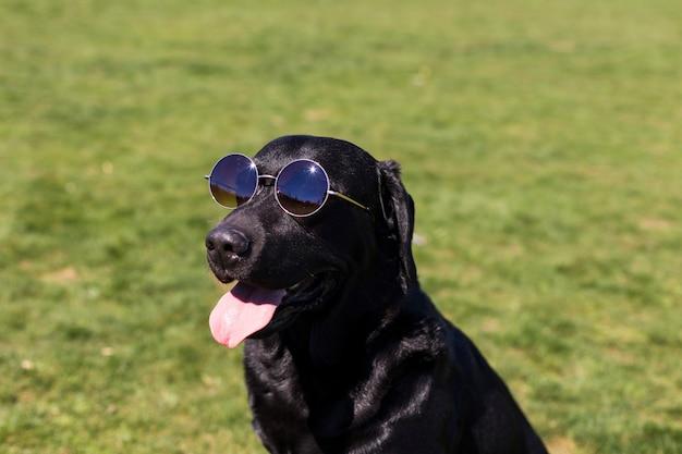緑の背景に舌をだらりと幸せな美しい黒ラブラドール。彼は流行に敏感なサングラスを着ています。