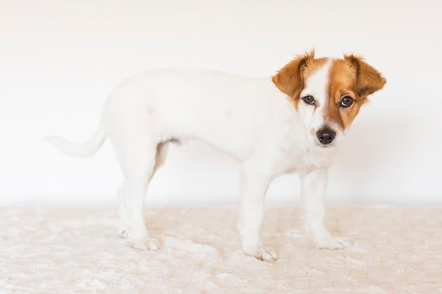 カメラを見てかわいい若い小型犬の肖像画。屋内でのペット。白色の背景