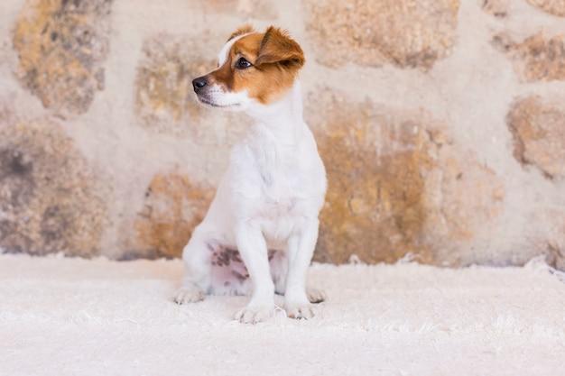 石の背景の上のかわいい若い小型犬の肖像画。動物のコンセプトが大好きです。ペット。