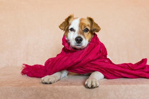 Портрет милой молодой маленькой собаки смотря камеру с красным шарфом. домашние животные в помещении. коричневый фон