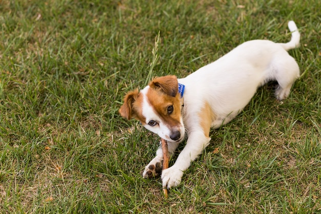 屋外の公園で楽しんでいるかわいい若い犬。木の棒で遊ぶ。春の時間。緑の背景
