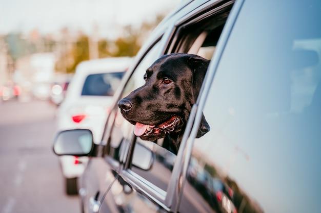 Красивый черный лабрадор в машине готов путешествовать. городской фон. смотря у окна на закате. концепция путешествия