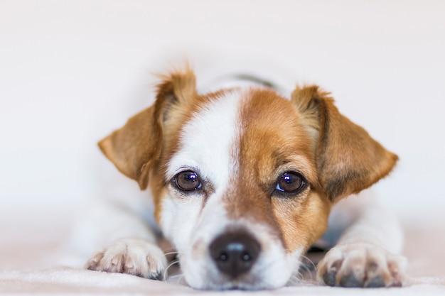 カメラを見て白い背景の上のかわいい若い小型犬の肖像画を間近します。屋内ペット。動物のコンセプトが大好きです。
