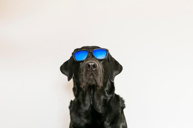 サングラスをかけている白い背景に分離された若い大人黒ラブラドル・レトリーバー犬