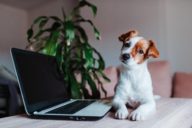かわいいジャックラッセル犬が自宅のラップトップに取り組んでいます。技術コンセプト
