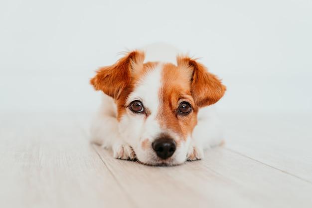 床に横たわってかわいい小さなジャックラッセル犬の肖像画。自宅で愛らしい犬