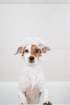 バスタブに濡れたかわいい素敵な小型犬、頭に面白いシャワーキャップ付きのきれいな犬。屋内ペット