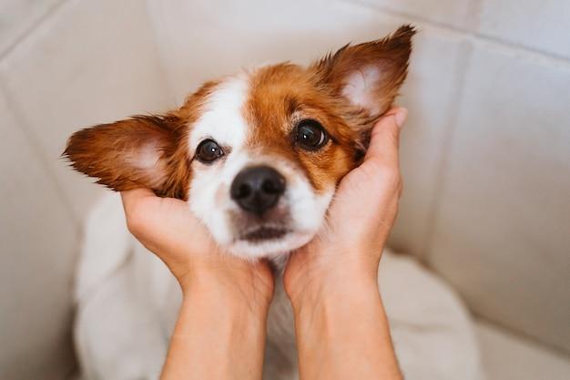 若い女性が自宅でタオルで彼女のかわいい小さなジャックラッセル犬を乾燥