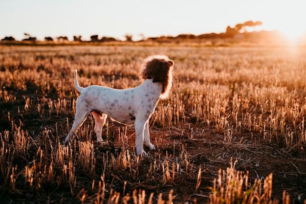 夕暮れ時の黄色のフィールドでかわいい小さなジャックラッセルテリア犬。頭に面白いライオンキングの衣装を着ています。屋外のペットとユーモア