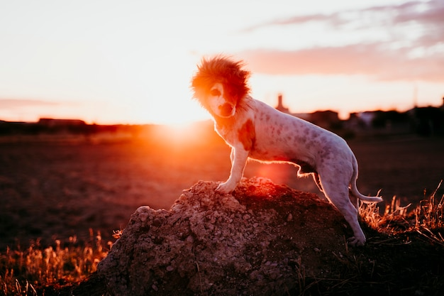 夕暮れ時の岩の上のかわいい小さなジャックラッセルテリア犬。頭に面白いライオンキングの衣装を着ています。屋外のペットとユーモア