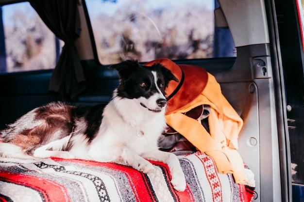 Милая собака колли границы ослабляя в фургоне. концепция путешествия
