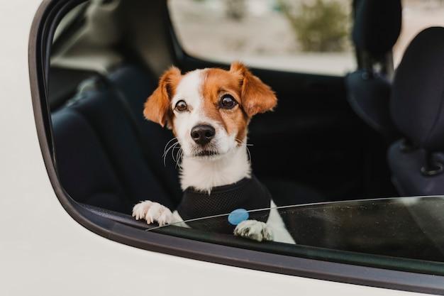 安全なハーネスとシートベルトを身に着けている車の中でかわいい小さなジャックラッセル犬