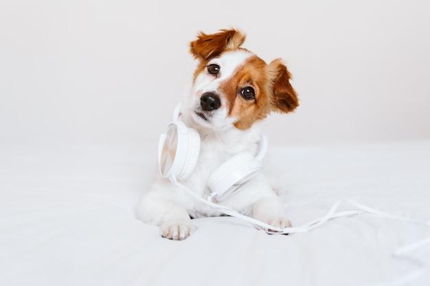 ヘッドセットで音楽を聴いてベッドに横たわっている美しいジャックラッセル犬。家庭、屋内、音楽、ライフスタイル