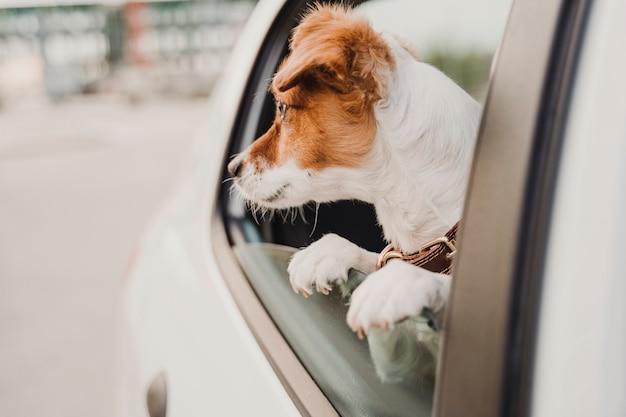 窓のそばを見て車の中でかわいい小さなジャックラッセル犬
