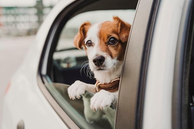 窓際を見て車の中でかわいい小さなジャックラッセル犬