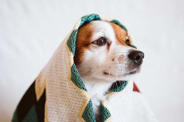 かわいいジャックラッセル犬は、自宅のソファに座っている民族の毛布で覆われています。屋内のライフスタイル