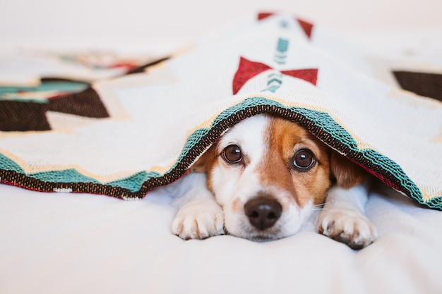 かわいいジャックラッセル犬は自宅のベッドに横になっている民族の毛布で覆われています。屋内のライフスタイル