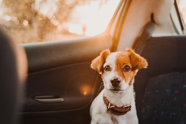 日没時の車の中でかわいい小さなジャックラッセル犬バックライト。