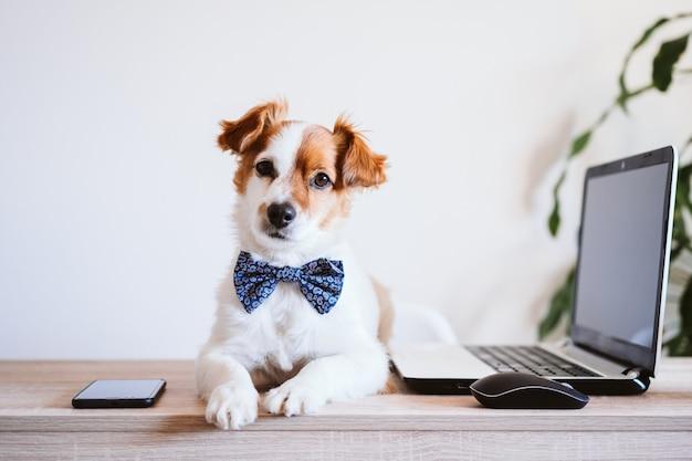 Милая собака джека рассела работая на компьтер-книжке дома. элегантная собака в галстуке-бабочке. остаться дома. технология и концепция в помещении