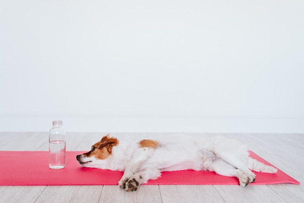 Милая маленькая собака джека рассела лежа на циновке йоги дома.