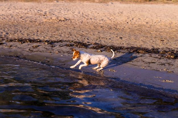 かわいい小型犬が泳いでイビサ島の美しい水で海岸で楽しんでいます。夏と休日のコンセプト