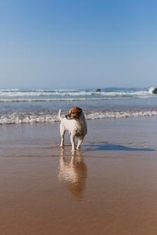 Красивая маленькая собака, сидя на берегу моря с отражением на воде.