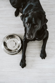 Красивый черный лабрадор ждет, чтобы съесть его еду. дом, крытый