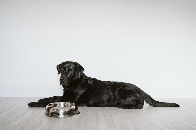 彼の食事を食べるのを待っている美しい黒のラブラドール。家、屋内