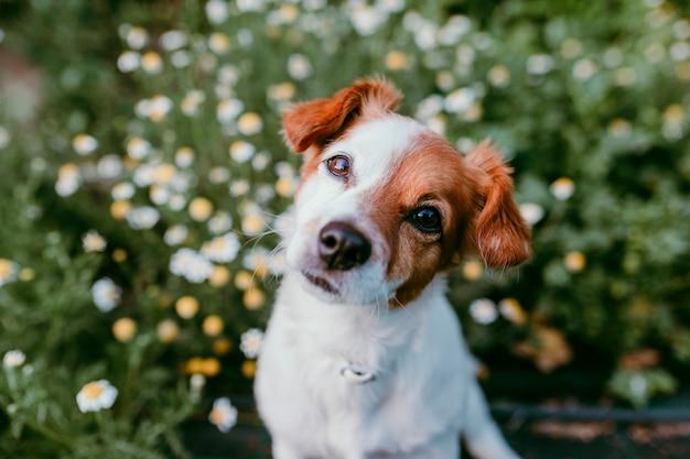 デイジーの花のフィールドに座っているかわいい小型犬。春、屋外のペットの肖像画。カメラを見て素敵な犬