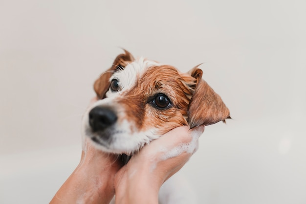 バスタブに濡れたかわいい素敵な小型犬。自宅で彼女の犬をきれいにする若い女性の所有者