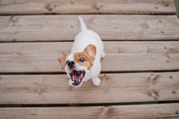 屋外の木製の橋の上に座って、おいしいお菓子を食べてかわいい小さなジャックラッセルテリア犬の平面図です。屋外でのペットとライフスタイル