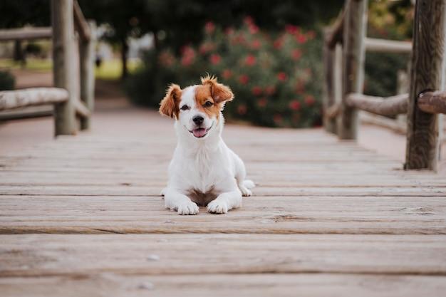 屋外の木製の橋の上に座ってかわいい小さなジャックラッセルテリア犬のトップビューとライフスタイル