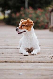 Милый маленький джек рассел терьер собака лежа на деревянный мост на открытом воздухе и ищет что-то или кого-то. домашние животные на улице и образ жизни
