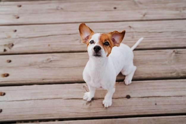 屋外の木製の橋の上に横たわって、何かまたは誰かを探しているかわいい小さなジャックラッセルテリア犬。屋外のペットとライフスタイル。上面図
