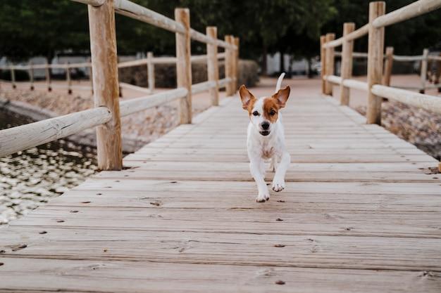 屋外の木製の橋のそばを走り、何かまたは誰かを探しているかわいい小さなジャックラッセルテリア犬。屋外でのペットとライフスタイル