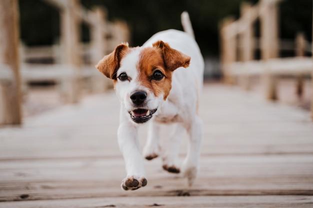 屋外の木製の橋のそばを走り、何かまたは誰かを探しているかわいい小さなジャックラッセルテリア犬。屋外のペットとライフスタイル。閉じる