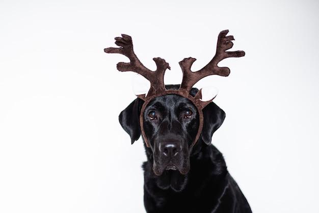 トナカイの角を着て自宅で美しい黒のラブラドール。クリスマスのコンセプト