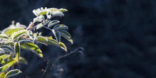 暗い背景に霜で野生のバラの低木