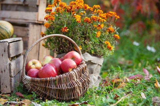 リンゴの新鮮な収穫。秋のガーデニング。かごの中の有機の赤いリンゴ