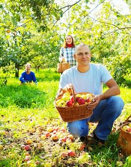 Семья выбирает яблоки в саду