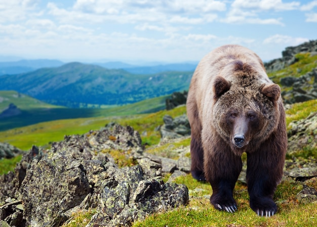 Бурый медведь в горах