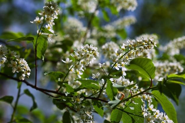 鳥の桜の花