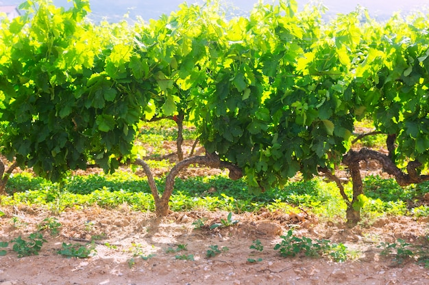 Плантация виноградников в солнечный летний день