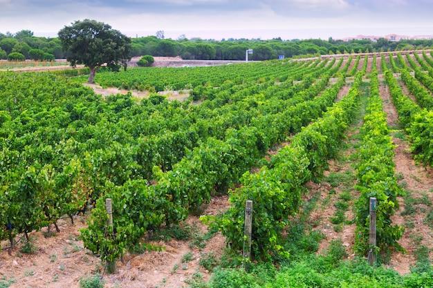 Сельский пейзаж с полем виноградников