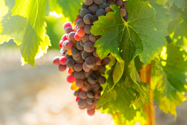 Виноград на заводе виноградников в солнечный день